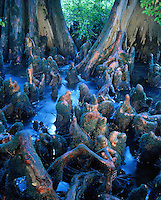 Dozens of knees at foot of two large cypress trees in the shallow water of Little Maumelle Bayou, AR. Little Maumelle Bayou near Little Rock, Arkansas.