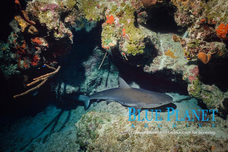 sleeping Caribbean reef shark, Carcharhinus perezii, resting on bottom, Bahamas, Caribbean Sea, Atlantic Ocean