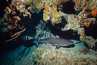 sleeping Caribbean reef shark, Carcharhinus perezii, resting on bottom, Bahamas, Caribbean Sea, Atlantic Ocean