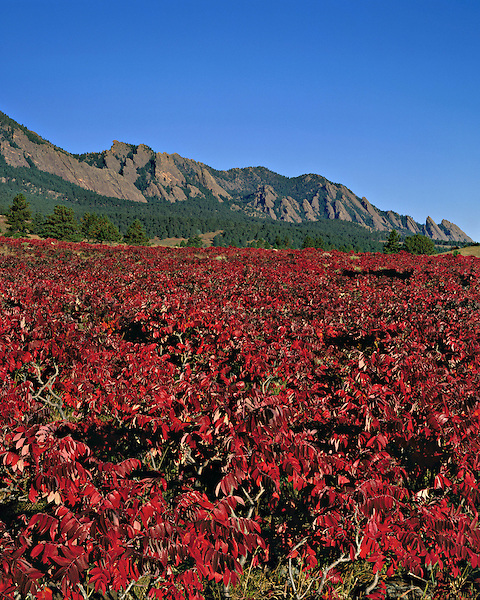 Autumn sumac bushes and Flatirons rock formation, Foothills, Boulder, Colorado, USA. .  John leads private photo tours in Boulder and throughout Colorado. Year-round Colorado photo tours.