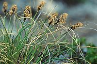 Krumm-Segge, Carex curvula, Alpine sedge