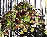 Aeonium Plant, Paxton Gate, Valencia Street, San Francisco, California