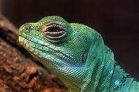 A Double-crested basilisk (Basiliscus plumifrons) in Beijing Zoo.