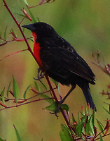 Red-breasted blackbird male