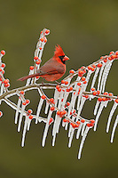 Northern Cardinal (Cardinalis cardinalis), adult male perched on icy branch of Possum Haw Holly (Ilex decidua) with berries, Hill Country, Texas, USA