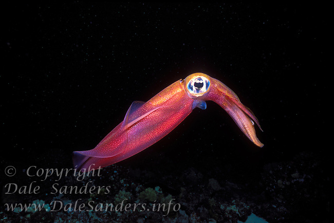 A small Squid swims underwater above the coral reef at Molikini, an extinct volacanic crater off Maui, Hawaii, USA.