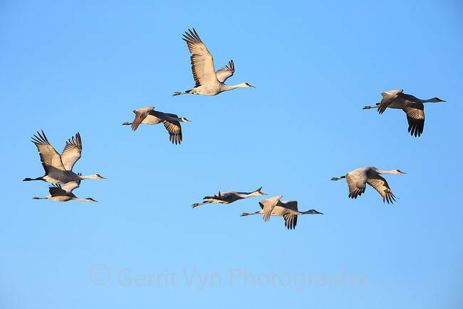 Sandhill Cranes (Grus canadensis) in flight. Central Nebraska. March.