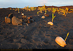 Sprouted Coconuts on New Black Sand Beach at Sunrise, Kaimu Beach at Kalapana, Kaimu Bay, Puna District, Big Island of Hawaii