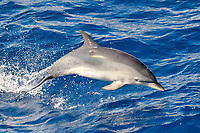 Atlantic Spotted Dolphin, Stenella frontalis, breaching clear of the water, scar from cookie-cutter shark bite visible below dorsal fin, Azores, Atlantic Ocean