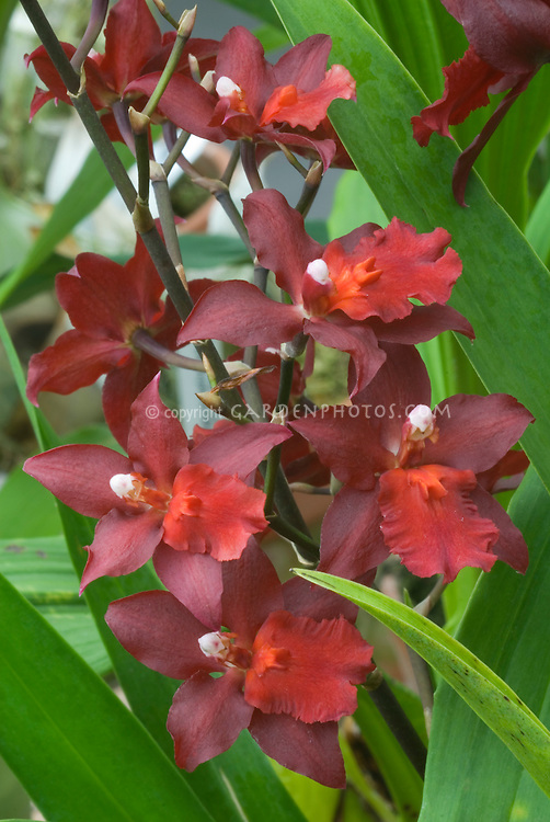 Intergeneric orchids Wilsonara Red Pacific 'Deep Shadows', HCC/AOS, with velvety red flowers