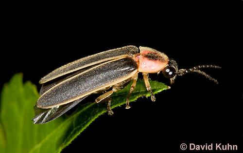 0109-0909  Lightning Bug (Fire fly or Firefly), Photinus spp. © David Kuhn/Dwight Kuhn Photography