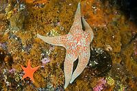 Leather Star starfish Dermasterias imbricata Southeast Alaska