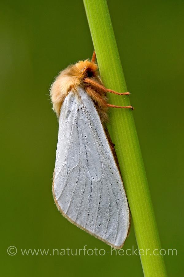 Großer Hopfen-Wurzelbohrer, Hopfen-Wurzelbohrer, Hopfenwurzelbohrer, Geistermotte, Männchen, Hepialus humuli, Hepialus griseomaculata, Hepialus radiata, Ghost Moth, Ghost Swift, male, Wurzelbohrer, Hepialidae, swift moths, ghost moths