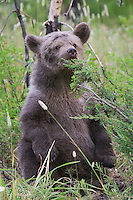 Grizzly bear cub sitting and tasting a pine tree - CA