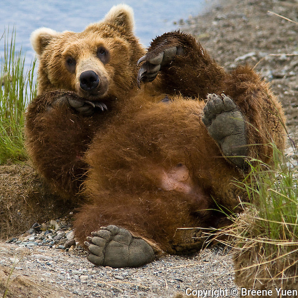 A Grizzly Bear gives herself  a much needed back scratch