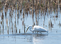 Great Egret, Ardea alba, catches a fish at Tule Lake National Wildlife Refuge, Oregon