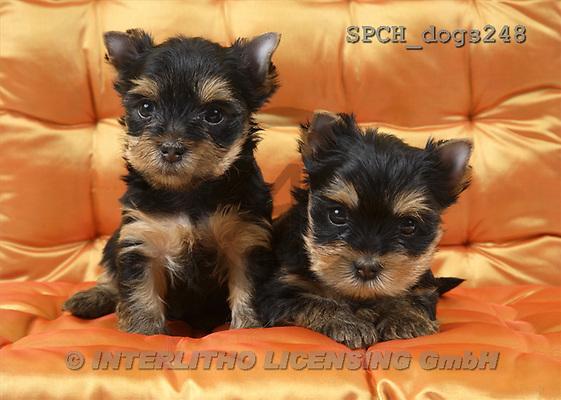 Xavier, ANIMALS, dogs, photos(SPCHdogs248,#A#) Hunde, perros