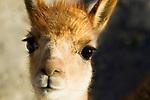 Vicuna (Vicugna vicugna) cria, Loma Blanca, Abra Granada, Andes, northwestern Argentina