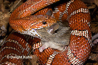 1R22-637z  Corn Snake, Banded Corn Snake, Elaphe guttata guttata or Pantherophis guttata guttata, catching and eating mouse