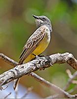 Western kingbird adult