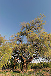 T-081 Jujube Tree in Tel Hadid