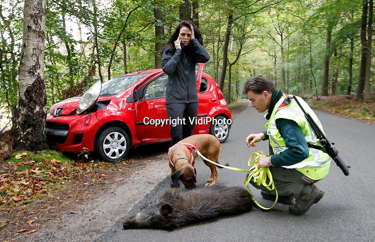 """Foto: VidiPhoto<br /> <br /> ELSPEET – Een lokale jager uit Staverden controleert samen met zijn hond of een zojuist aangereden wild zwijn wel echt dood is. Het aantal aanrijdingen met wilde dieren in ons land is in vijf jaar tijd opgelopen van bijna 6.000 tot 10.000 in 2019. Bij verzekeraars werd vorig jaar voor 16 miljoen euro geclaimd als gevolg van ongevallen met bijvoorbeeld wilde zwijnen, herten en reeën. Ook dit jaar wordt een stijging verwacht omdat de dieren door het toegenomen coronatoerisme in natuurgebieden worden verstoord en massaal wegen oversteken. Aangereden dieren worden opgespoord door vrijwilligers (daartoe bevoegde jagers) met een daarvoor speciaal getrainde hond. Zo wordt onnodig dierenleed voorkomen. Jagers steken jaarlijks 350.000 uur in het opsporen van aangereden wilde dieren en in het plaatsen van speciale reflectoren om aanrijdingen te voorkomen. Omdat veel Nederlanders niet weten dat het doorrijden na een ongeval met wild strafbaar is, bepleit de Koninklijke Nederlandse Jagersvereniging woensdag bij de start van haar publiekscampagne dat het onderwerp """"Hoe te handelen na een wildaanrijding""""  onderdeel wordt van het theorie- autorijexamen."""