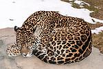 jaguar laying on large boulder sleeping