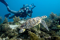A female scuba diver photographer taking a picture of a hawksbill sea turtle, Eretmochelys imbricata, Islamorada, Florida keys, United States, Western Atlantic Ocean
