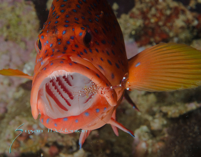 Coral Grouper in a Cleaning station, shrimp cleaning it's mouth