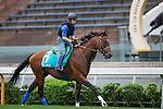 SHA TIN,HONG KONG-APRIL 27: Maurice ,trained by Noriyuki Hori,exercises in preparation for the Champions Mile at Sha Tin Racecourse on April 27,2016 in Sha Tin,New Territories,Hong Kong (Photo by Kaz Ishida/Eclipse Sportswire/Getty Images)