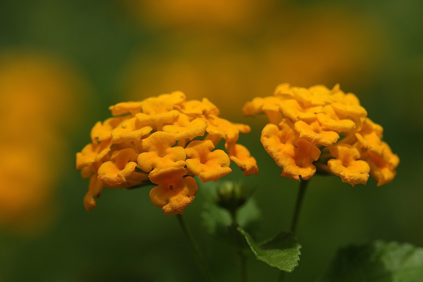Lantana's aromatic flower clusters (called umbels) are a mix of red, orange, yellow, or blue and white florets. Other colors exist as new varieties are being selected.