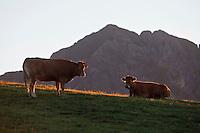 Europe/France/Midi-Pyrénées/65/Hautes-Pyrénées/ Env de Saint-Lary-Soulan: Vaches en paturage au Col de Portet à l'aube