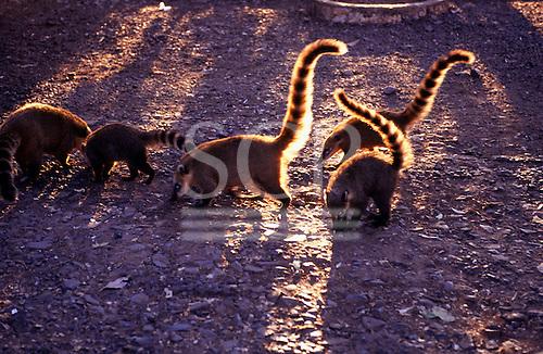 Amazon, Brazil. Group of coatis. Coatimundi (Nasua nasua). Rio Grande do Sul State.