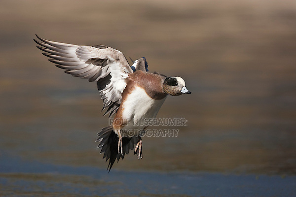 American Wigeon (Anas americana) adult landing, Bosque del Apache National Wildlife Refuge , New Mexico, USA