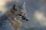 Kit/Swift Fox