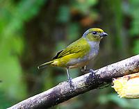 Female orange-bellied euphonia