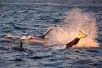 Orca or killer whale, Orcinus orca, tail slap, feeding on herring, Tysfjord, Norway, Atlantic