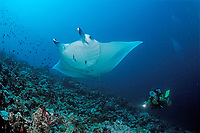 Manta ray and scuba diver, Manta alfredi, Maldives Islands, Indian ocean, Ari Atoll, Atol, Madivaru