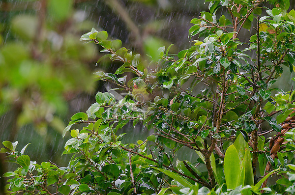 Orange-chinned Parakeet or Tovi Parakeet (Brotogeris jugularis) in the rain.  Found in Central America south to northern South America.  This one photographed in Costa Rican rainforest.
