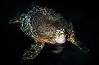Green Turtle, Chelonia mydas, Cocos (Keeling) Islands, Australia, Indian Ocean
