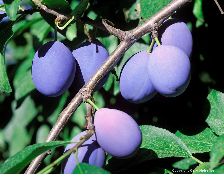 Plums on tree. {Italian plum} WA.