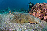 Pacific angel shark, Squatina californica, with diver, Channel Islands National Marine Sanctuary, California, USA, East Pacific Ocean (MR)