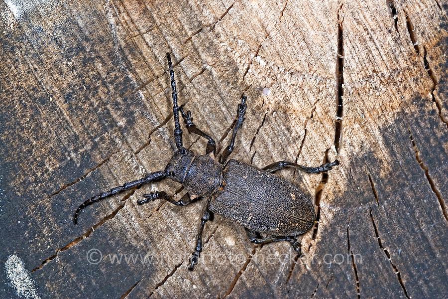 Weberbock, Weber-Bock, Lamia textor, Pachystola textor, Weaver beetle