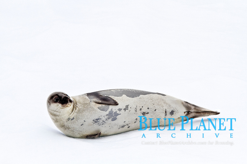 harp seal, Pagophilus groenlandicus, hauled out on the pack-ice in seas between Iceland and Greenland in the Denmark Strait, Atlantic Ocean