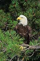Bald Eagle (Haliaeetus leucocephalus)  resting in pine tree.