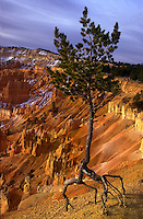 Pine tree clinging to the rim of Bryce Canyon National Park, walking pine. Utah, Sunset Point, Bryce Canyon National Park.