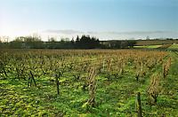 Vineyard. Chenin blanc. Le haut Lieu, Domaine Huet, vouvray, Loire, France