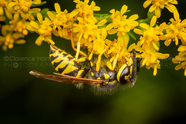 An Eastern Yellowjacket (Vespula maculifrons) forages on a Goldenrod flower.