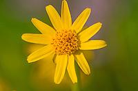 Broadleaf Arnica or Mountain Arnica (Arnica latifolia).  Summer wildflower at Mount Rainier National Park, WA.