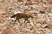 Dhole or Indian Wild Dog inside Tadoba Andhari Tiger Reserve